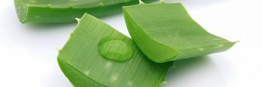Aloe Vera plantens virkning