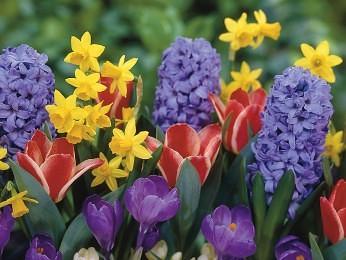 tulipaner i haven